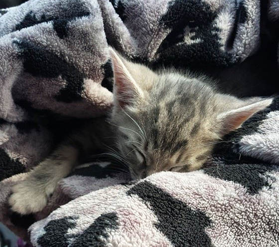Bedraggled-Hitchhiker-kitten-adopted-4