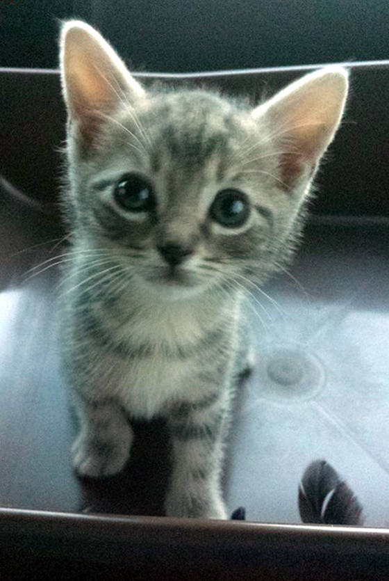 Bedraggled-Hitchhiker-kitten-adopted