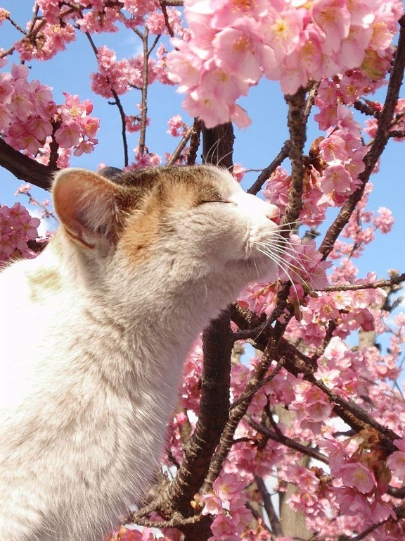 cats-love-cherry-blossoms-3