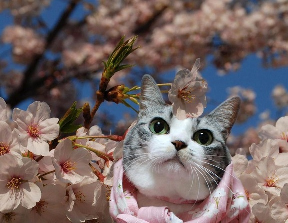 cats-love-cherry-blossoms-4