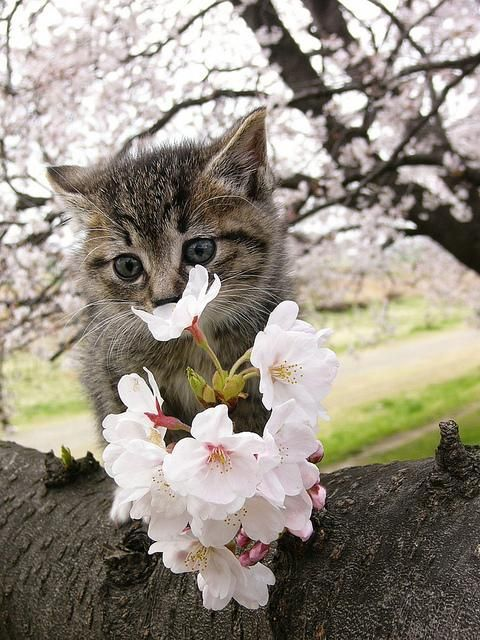 cats-love-cherry-blossoms-5