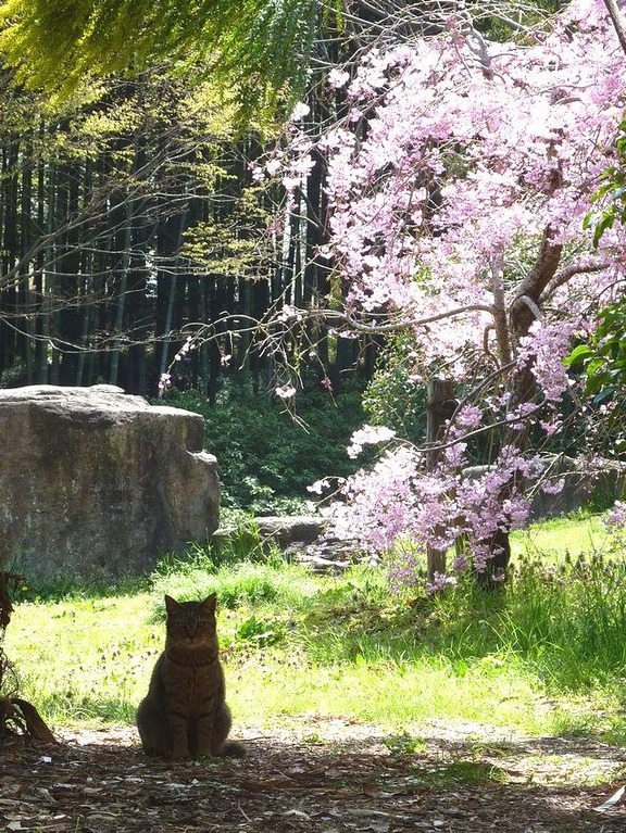 cats-love-cherry-blossoms-6