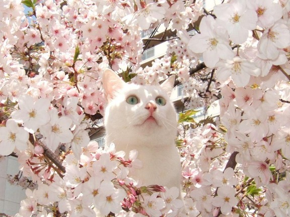 cats-love-cherry-blossoms-7