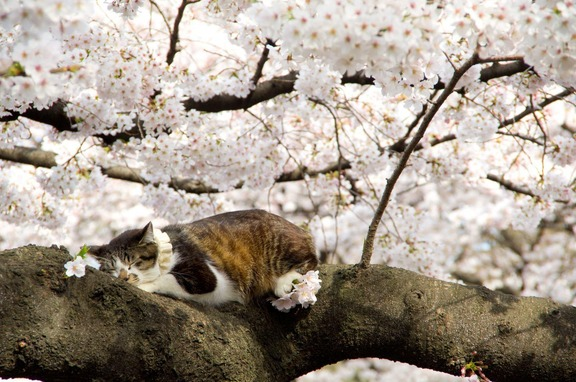 cats-love-cherry-blossoms-8
