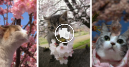These 12 Pictures Of Cats Enjoying Cherry Blossoms Will Convince You There's Nothing More Beautiful!