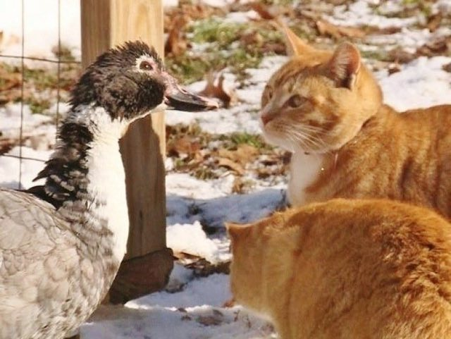 ducks-and-cats-1