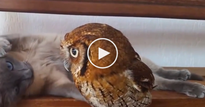 Their Kitty Wanted A Friend, So They Got It A Pet Owl… Watching Them Together Is just TOO Cute!!