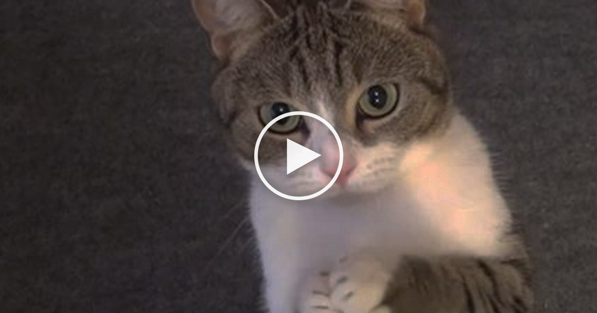 This Polite Kitty Gets Hungry But You Have To See What He