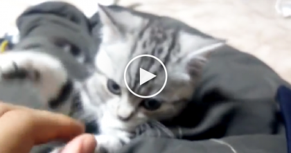 This Kitten Is Playing With His Owner, But He Can Hardly Keep His Eyes Open… Awwwww!!