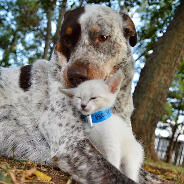 dog-meets-foster-kitten1