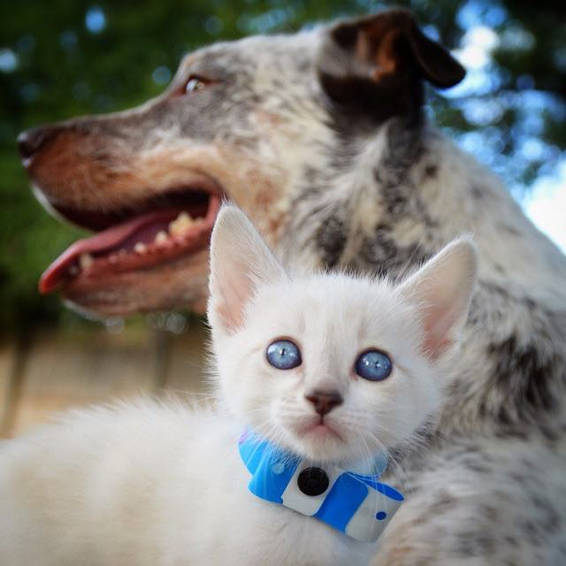dog-meets-foster-kitten3