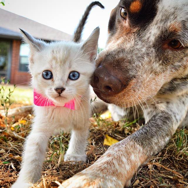 dog-meets-foster-kitten4