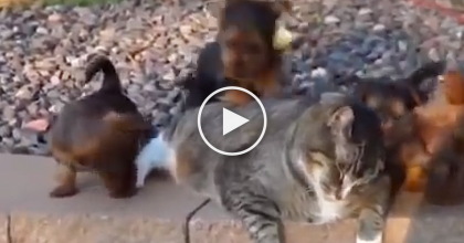 This Cat Is Confronted With 8 Hyper Dogs, What Happens Next? It's TRUE Patience…