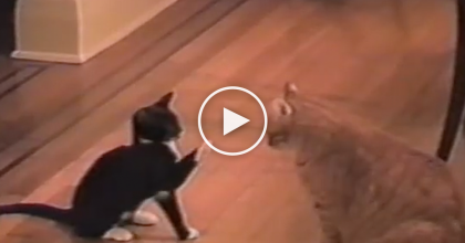 This Kitten Tries To Hypnotize Adult Cat By Waving Paws, But He WASN'T Expecting THIS!…
