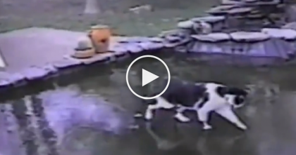 Their Pond Froze Over, But When The Cat Discovers It, Something Hilarious Happens… LOL!