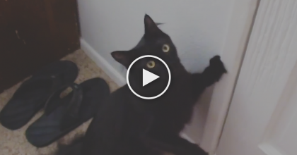 This Cat Insistently Demands To Go On A Walk, So His Owner Has No Other Choice… WATCH!