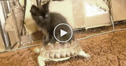 Tortoise Goes For A Walk, But Watch What Happens When The Kitty Discovers Him…
