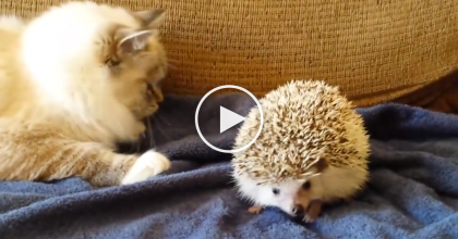 This Kitty Doesn't Know What To Do With The Hedgehog, So He Learns The Hard Way… LOL