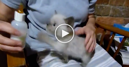 This Hungry Kitten Wants Milk, But Makes The Weirdest Noise Ever… What In The WORLD?!