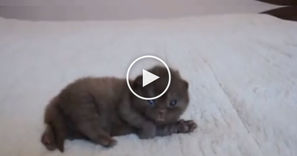 This Itty Bitty Kitten Gets A Belly Rub, But His Reaction Is The CUTEST Thing EVER…