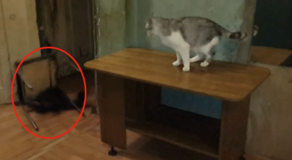 This Raccoon Tries To Terrorize The Cat, But This Cat Has The Perfect Solution… GENIUS!