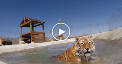 2 Neglected Big Cats See Water For The First Time, Watch Till 1:30, Wow.