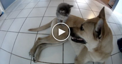 This Dog Noticed The New Adopted Kitten, Then Something Amazing Happened… AWWW!