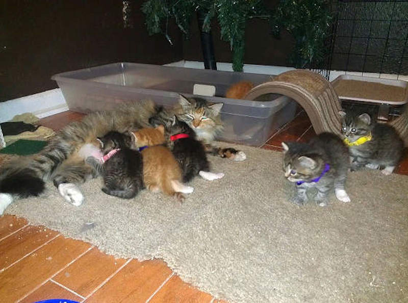 dog-fosters-kittens-10