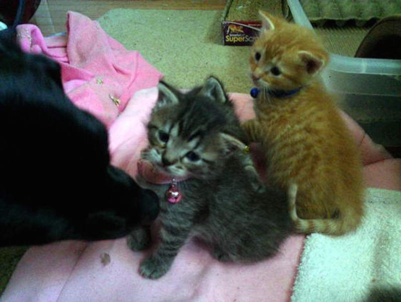 dog-fosters-kittens-9