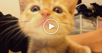 He's Trying To Eat Breakfast, But This Little Kitty Won't Stop Meowing For Attention, Just WATCH