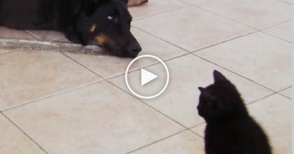 Just WATCH What This Kitten Decides To Do When The Dog Rolls Over… **AWW**