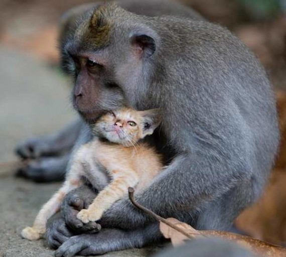 monkey-adopted-kitten-4