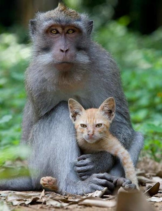 monkey-adopted-kitten-5