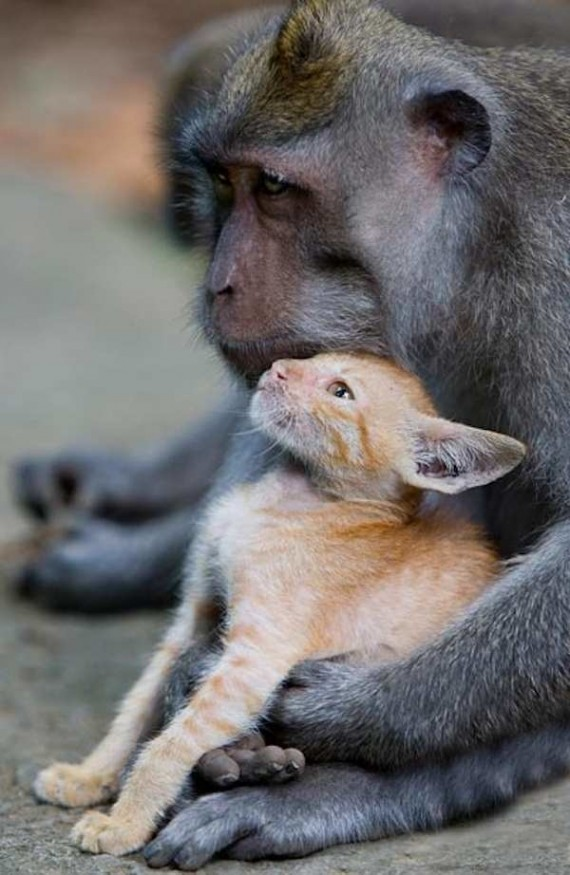 monkey-adopted-kitten-6