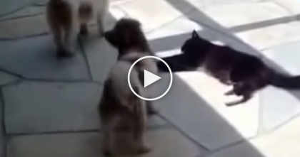 Smart Cat Deals With Pesky Dogs In The BEST Way EVER… Keep Watching Till 0:27, Hilarious!!