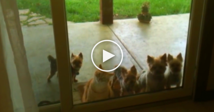 These Dogs Want To Come Inside, But You'll NEVER Guess What The Cat Does Next! WOW…