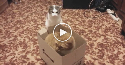 This Cat Tries To Defend His Stolen Box, But Gets An Unexpected Surprise.
