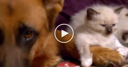 This Kitten Walks Up To The German Shepherd, Then Something Adorable Happens.