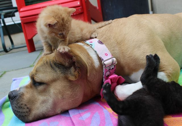 dog-adopted-kitten-cat-6