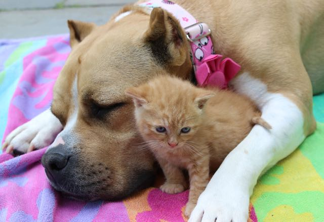 dog-adopted-kitten-cat-8