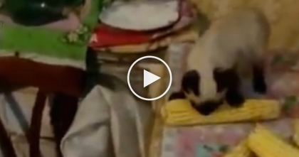 His Owner Tries To Take It Away, But Just WATCH What This Cat Has To Say… OMG!