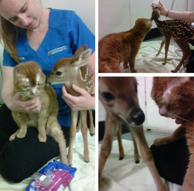 russell-burned-cat-helping-fawn