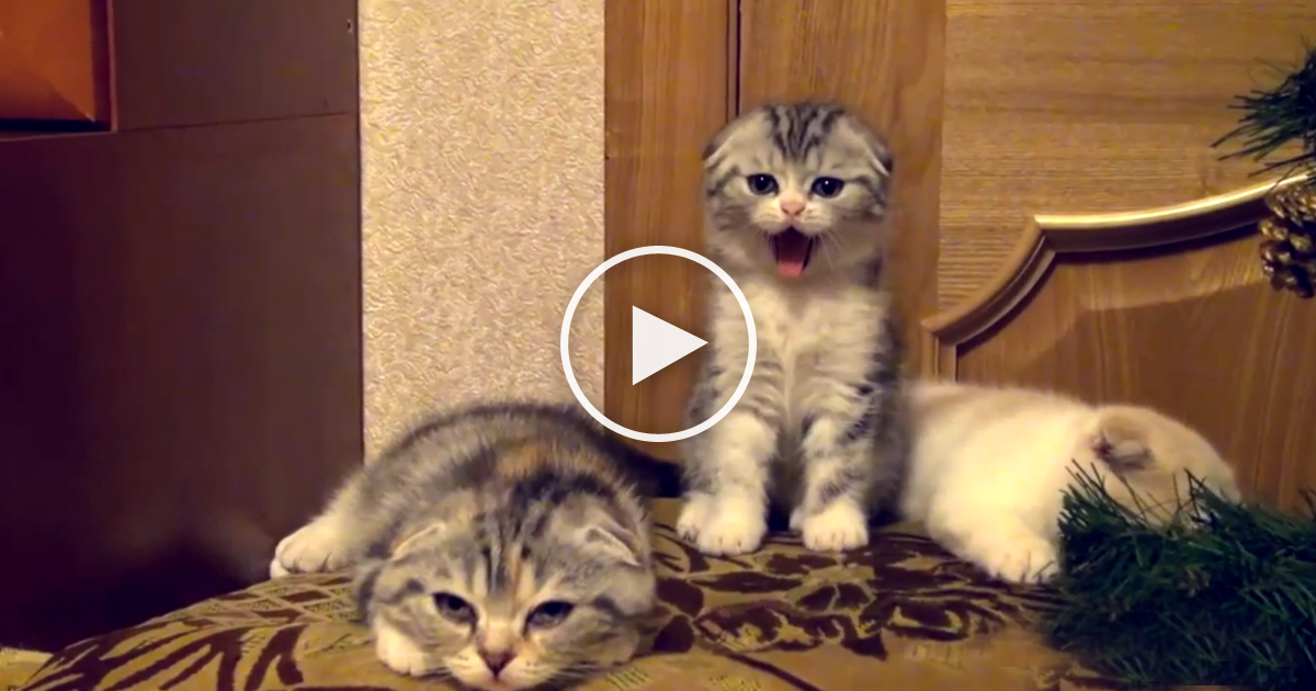 He Yawns But Then Watch What The Other Kittens Do Next They Just Couldn T Help It The Meow Post