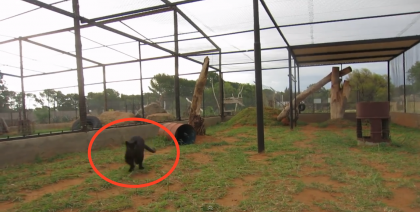 This Black Leopard Sees His Favorite Zookeeper, But Watch What Happens Next… OMG!