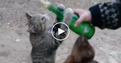 This Cat Notices The Goat Enjoying Something, But Just Watch What He Does… LOL