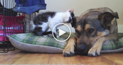 Tootsie The Tiny Kitten Meets Buddy The Dog For The First Time, The Results? ADORABLE.