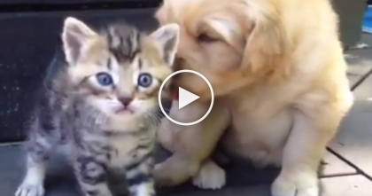 Kitten Discovers His New Best Friend, The Golden Retriever Puppy… The Results Are TOO Cute!!