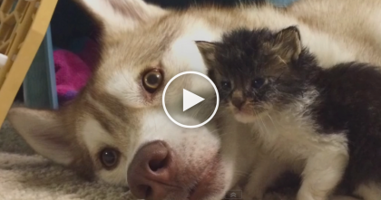 They Rescued This 3-Week Old Kitten, But When The Husky Noticed?… Something Incredible Happens!