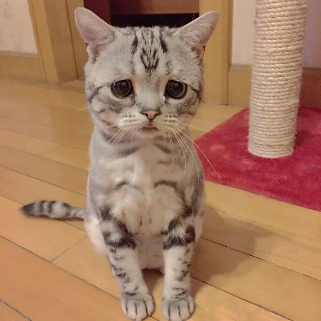 Luhu-sad-eyed-cat