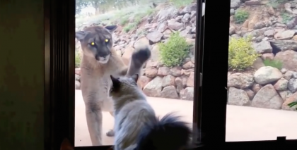 Unbelievable Footage: Fearless House Cat Confronts Wild Mountain Lion…